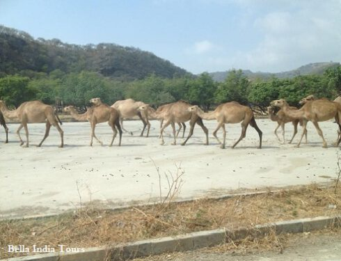 Camel- near-beach